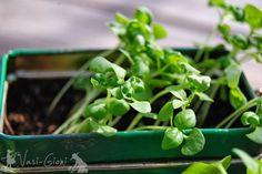 La ce Adâncime Semănăm şi Plantăm? - magazinul de acasă Spinach, Herbs, Vegetables, Gardening, Plant, Lawn And Garden, Herb, Vegetable Recipes, Veggies