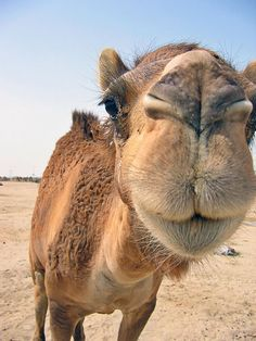 Ride a Camel in the desert