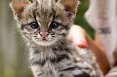 Este filhotinho de gato-do-mato que pode esmagar sua alma se você olhar fixamente no fundo dos seus olhos por muito tempo.