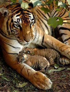 ^Mama tiger and her cubs / animaux / félin / tigre / bébé / rayures / mignon Beautiful Cats, Animals Beautiful, Beautiful Family, Beautiful Artwork, Beautiful Babies, Beautiful Things, Cute Baby Animals, Animals And Pets, Wild Animals