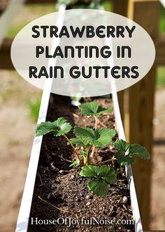 We've had great success growing strawberries in raised garden beds. Now we're giving growing in rain gutters a go! Come see our set up, and how it all went.