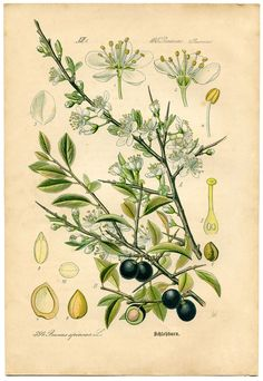 Blackthorn Plant - White flowers with blueish berries.  This is the 5th Botanical Print in a set of 8 that date back to the 1880's.