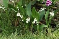 Flowers - How to grow lily of the valley Growing Lilies, Comment Planter, Garden Online, Plantation, Lily Of The Valley, Garden Planters, Horticulture, Botany, Beautiful Gardens