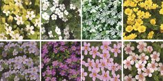 Bacopa Variety of colors.