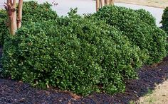 If you're looking for a handsome, super-hardy, long-lived, absolutely no-maintenance evergreen shrub for a home foundation planting or hedge, Carissa Holly is a sure bet and perfect choice!