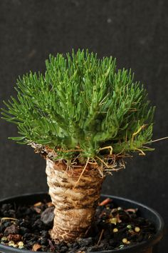 Euphorbia melanohydrata
