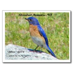 Bllue Bird, Adirondack Mountains, NY Postcard