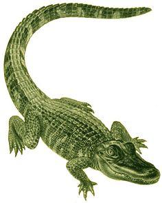 Google Image Result for http://writeforpleasure.com/wp-content/uploads/2011/10/alligator-6.jpg