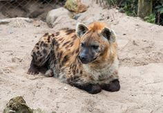 fenrislorsrai: Spotted hyena by Hans De Bisschop Animals And Pets, Baby Animals, Funny Animals, Cute Animals, Wild Animals, Brown Hyena, Striped Hyena, Wolf Hybrid, Maned Wolf