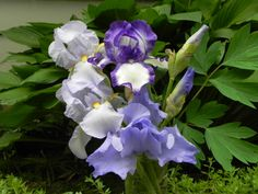 3 shades of purpl Iris