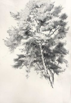 Pine Tree, Charcoal on paper, 89X61 cm