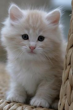 So cute! I need a fluffy kitten!