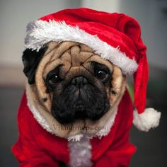 Since Join the Pugs bring the cuteness to Pug lovers all over the world. If you love Pugs. you'll love our website and social media. Black Pug Puppies, Cute Puppies, Bulldog Puppies, Christmas Animals, Christmas Dog, Christmas Photos, Raza Pug, Pug Photos, Pet Dogs