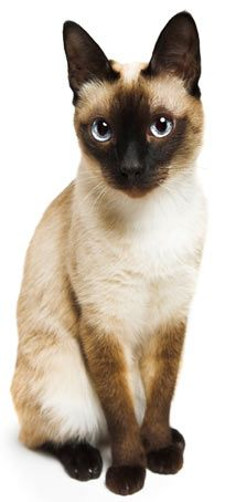 Siamese are not calm lap-cats. See the rest of the most popular cat breeds in America in this cute slideshow.