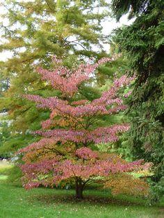L'automne en rose avec le cornouiller des pagodes http://www.pariscotejardin.fr/2013/11/l-automne-en-rose-avec-le-cornouiller-des-pagodes/