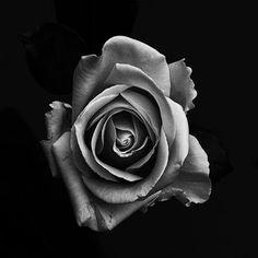 Rose Realistic Rose Tattoo, Grey Roses, Black N White, Rose Tattoos, Flower Photos, Art Girl, Art Inspo, Planting Flowers, Body Art