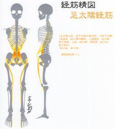 足太陰経筋-Muscle meridian, Zu taiyin-