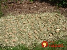 Growing a lot of dirt free potatoes in a bale of hay Hay Bale Gardening, Gardening Tips, Straw Bales, Hay Bales, Permaculture, Potato Gardening, Buy Seeds, Diy Garden Projects, Garden Ideas
