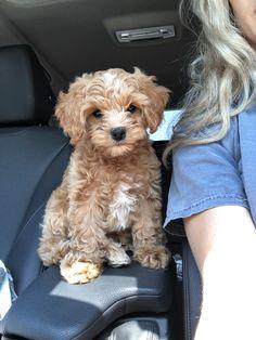 Dit is mijn Benny-meisje. Ze is een cockapoo :) Super Cute Puppies, Really Cute Puppies, Cute Little Puppies, Cute Little Animals, Cute Dogs And Puppies, Cute Funny Animals, Baby Dogs, Cute Dogs Breeds, Dog Breed Names