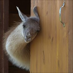 What a gorgeous flexible neck this Llama has. Is he a llama? He sure is cute.