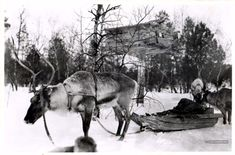 Считается, что приручение оленя на Кольском п‑ове произошло в начале I тысячелетия до н. э. Karl Voldemar Nickul (Suonikylä, Petsamo, Lappi) Skolt-saami