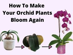 Learn how to make orchids bloom again and understand why won't my orchids bloom. You can stimulate and trigger your orchid houseplant to produce flowers. Indoor Orchid Care, Orchid Plant Care, Indoor Orchids, Indoor Flowering Plants, Orchids Garden, Indoor Flowers, How To Plant Orchids, Orchid Flower Arrangements, Orchid Planters