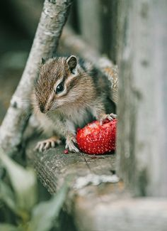 Cute Chipmunk With Strawberry Photograph by Oksana Ariskina. #OksanaAriskina Cute and funny wild animals! Available as poster, greeting card, phone case, throw pillow, framed fine art print, metal, acrylic or canvas print with my fine art photography online: www.oksana-ariskina.pixels.com