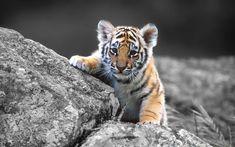 Cute Tiger Cub HD Wallpaper for UHD Widescreen desktop & smartphone Cute Tiger Cubs, Cute Tigers, Tiger Tiger, Bengal Tiger, Cubs Wallpaper, Animal Wallpaper, Wallpaper Wallpapers, The Zoo, Beautiful Cats