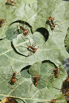 As they slice perfect circles from leaves to carry back to their nests, leaf-cutter ants practice one of the oldest forms of agriculture on the planet. - ABSOLUTELY INCREDIBLE & SUCH A GREAT SHOT! Queen Ant, Ant Colony, Bees And Wasps, A Perfect Circle, Insect Art, Science And Nature, Natural Wonders, Ants, Beautiful Creatures