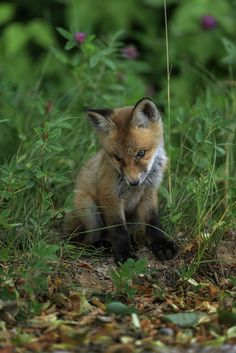 """Fox Cub: """"What is THAT crawling insect?!"""""""