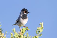 Rüppell's Warbler by chudy