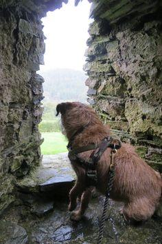 Border Terrier at the Restormel Castle, Lostwithiel, Cornwall