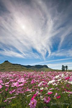Wild Cosmos Field by Rob Southey - South Africa. Cosmos Flowers, Wild Flowers, Daisy Flowers, Beautiful World, Beautiful Places, Daisy Field, Watercolor Architecture, Field Of Dreams, Amazing Flowers