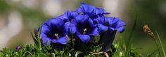 Bildergebnis für alpenblumen Plants, Colour, Google, Pictures, Color, Flora, Plant, Colors, Planting