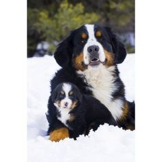 Adult And Puppy Bernese Mountain Dog Portrait In Winter Canvas Art - Michael DeYoung Design Pics (11 x 17)