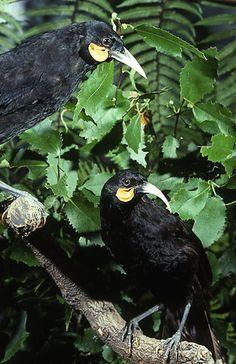 Extinct Birds, Extinct Animals, Kakapo Parrot, Nz Art, Healthy Environment, Reptiles And Amphibians, Sea Birds, Bird Art, Beautiful Birds