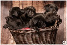 Chocolate labrador - a basket of chocolate lab puppies.  @sljardine how cute are these?