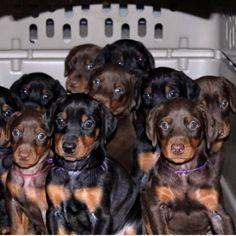 Dobermans - I want all of them!!