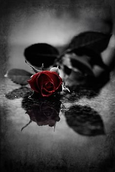 Blood Red Petals, Gothic Rose Poster: x - Buy Online Color Splash, Color Pop, Splash Art, One Rose, Gothic Art, Dark Beauty, Dark Fantasy, Beautiful Roses, Beautiful Gif