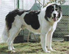 Burkovina sheepdog