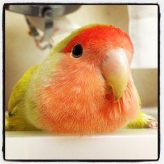 Rosy-faced Lovebird - Twitter / @goechan419