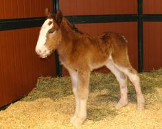 """"""" #Mac's name is a nod to the iconic legacy of the #Budweiser #Clydesdales,"""" Anheuser-Busch Brewing Company said."""