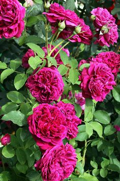 'William Shakespeare 2000' | Shrub.  English Rose Collection.  David C. H. Austin, 2000  | @ Oliver