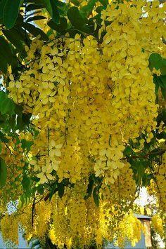 The best small trees grow it pinterest yellow flowers partage of waw maleeon facebook mightylinksfo