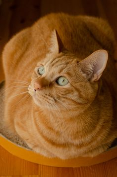 Tabby Cat Cat tangled by yarn Terry Runyan - Cute Cats And Dogs, I Love Cats, Cats And Kittens, Orange Tabby Cats, Red Cat, Pretty Cats, Beautiful Cats, Chats Tabby Oranges, Yellow Cat