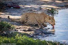What is your dream wildlife sighting?  : @moosavarachia09 on Instagram #leopard #BigFive #BigCats #dreamsighting #KrugerPark #traveltuesday #internationalcatday