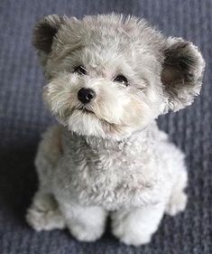 That is why below we have listed some real facts about why you need to consider Teddy Bear Dog for your homes to help you understand what are they, what are the reasons they will make a great companion for your homes. Teddy Bear Dog Source by Teddy Bear Puppies, Tiny Puppies, Cute Little Puppies, Teacup Puppies, Cute Dogs And Puppies, Cute Little Animals, Cute Funny Animals, Baby Dogs, Doggies