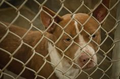 09/26/14-ODESSA URGENT - $110 in PLEDGES!!! This poor baby is still URGENT!!!Don't let him DIE in the pound. He is such a sweet dog and just wants to be loved!!!! Staffordshire Terrier male 3-4 years old Kennel A23 Available NOW**** $51 to adopt Located at Odessa, Texas Animal Control. Must have a valid Drivers License and utility bill with matching address to adopt. They accept Credit Cards, cash or checks. Please send us a PM if we can answer any questions for you.