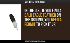 In the U.S., if you find a bald eagle feather on the ground, you need a permit to pick it up.