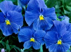 Pansy  The pansy is a group of large-flowered hybrid plants cultivated as garden flowers. Pansies are derived from viola species